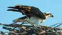 University of Florida Cams - Osprey Cam, Florida