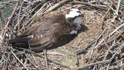 Osprey Cam - Lake Norman Wildlife Conservationists