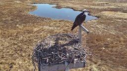 EarthCam: Osprey Cam - Boston, MA