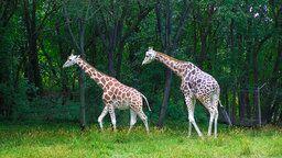 EarthCam: Giraffe Cam Paddock