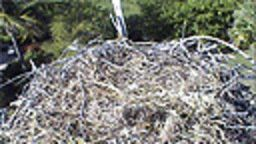 Sanibel Osprey Cam at Ocean's Reach