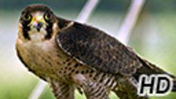 Allentown Falcon Cam