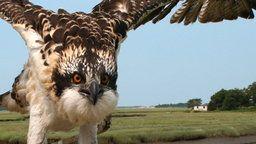 Osprey Cam - Essex, MA