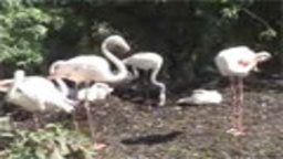 Martin Mere Flamingos