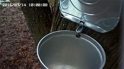 Sapsucker Maple Water Sapcam