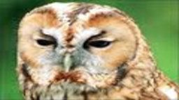 Tawny Owl Cam
