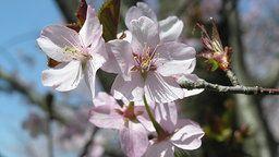 Cherry Blossoms Cam