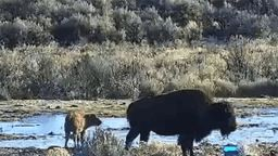 Oregon Bison Ranch Wildlife Cam
