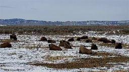 Oregon Bison Ranch Wildlife Cam
