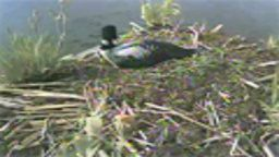 Live Loon Cam