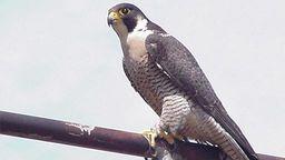 Falcon Cam - Davis, CA