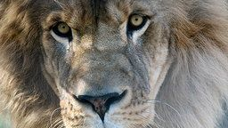 Lion's Den Cam