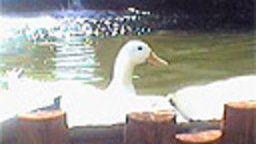 Duck Cam