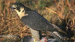 EarthCam: Falcon Cam - Romeoville, IL