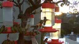 Studio City Hummingbird Cam