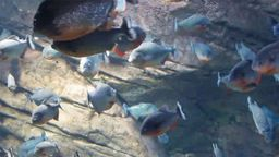 Georgia Aquarium Piranha Webcam