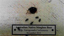 Australian Native Bee Webcam