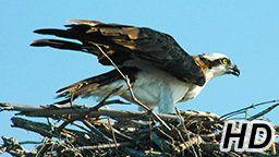 Osprey Cam - Gainesville, FL