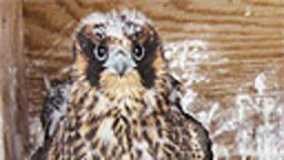 Tappan Zee Bridge Peregrine Falcon Cam