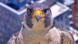 Falcon Cam - Boston, MA, Massachusetts