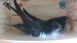 Common Swift Nest Webcam