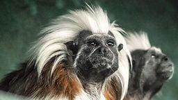 EarthCam: Tamarin Monkey Cam
