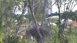 Marco Island Eagle Cam