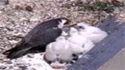 Shaw Falcon Cam