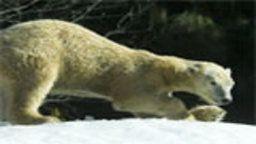 Polar Bear Cam