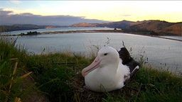 RoyalCam Albatross Nest