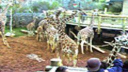 GiraffeCam