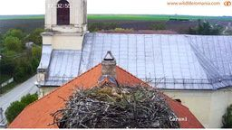 White stork Nest - Carani, Romania