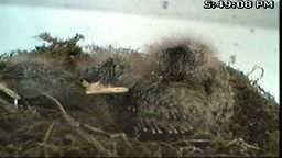 Eastern Phoebes Bird Nest