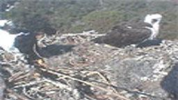 Osprey Nest Webcam
