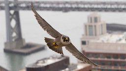 PGE Falcon Cam