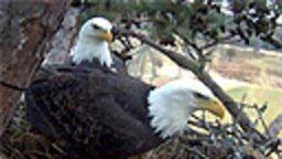 Harrison Bay Eagle Cam
