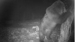 Live Brown Bear Cam