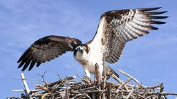 Osprey Cam - Mooresville, NC
