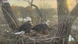 Decorah Eagle Nest Cam