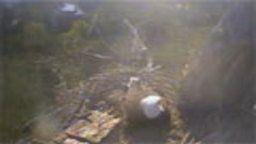 Hornby Island Eagles Cam