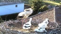 White stork nestcam (Nagyhalász)