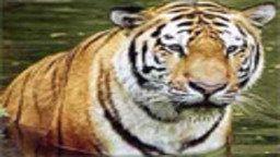 Tiger Cam
