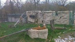 Zoo Zagreb - Lion